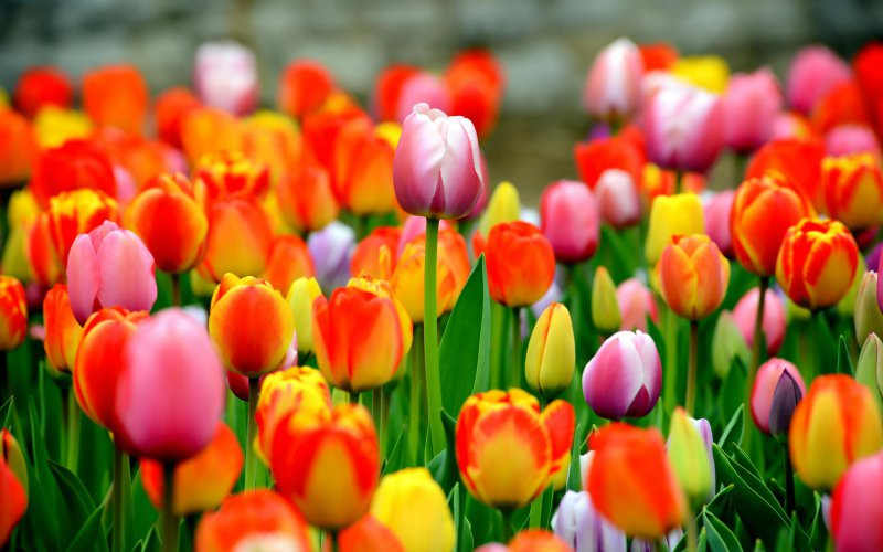 Tulips-12 Most Beautiful Flowers In The World