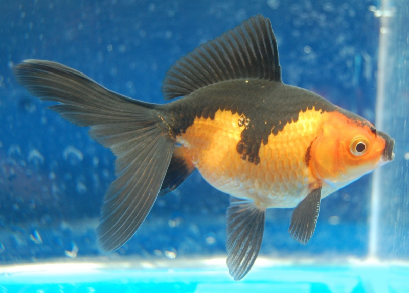 Why Is My Goldfish Turning Black?-12 Funny Things People Google
