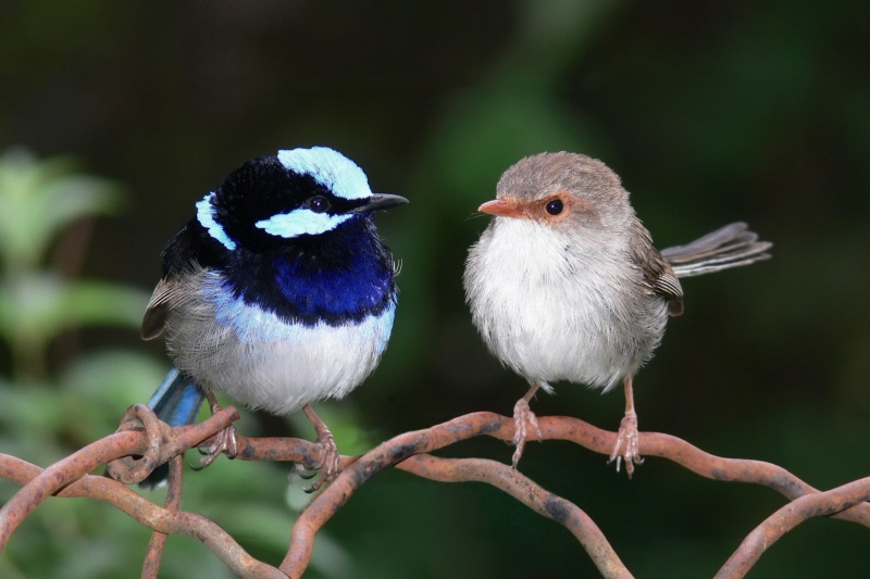 Superb Fairywren-15 Super Cool Animals That You May Find Only In Australia