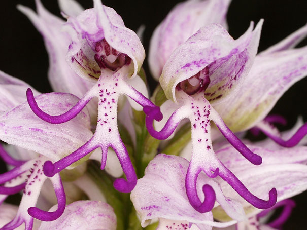 Naked Man Orchid-15 Awesome Flowers That Don't Look Like Flowers At All