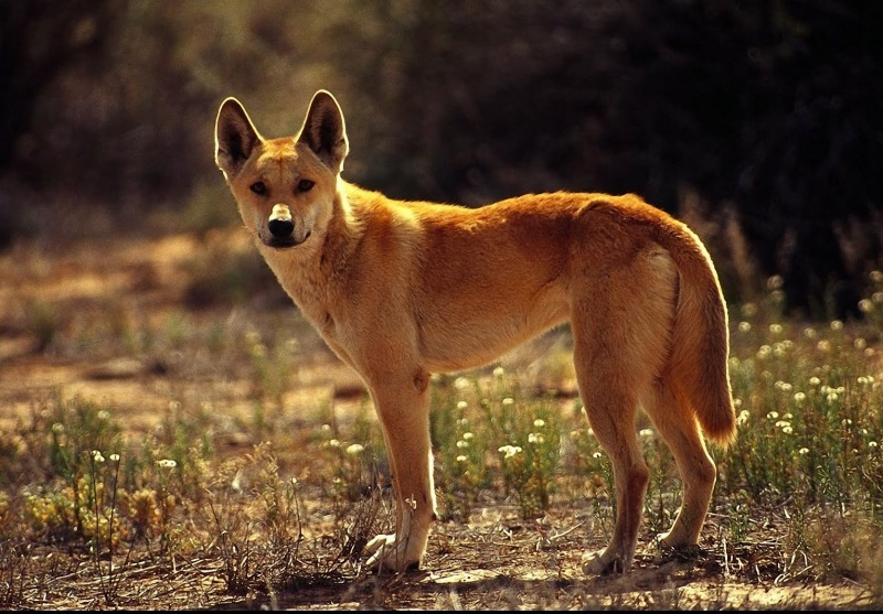 Australian Dingo-15 Super Cool Animals That You May Find Only In Australia