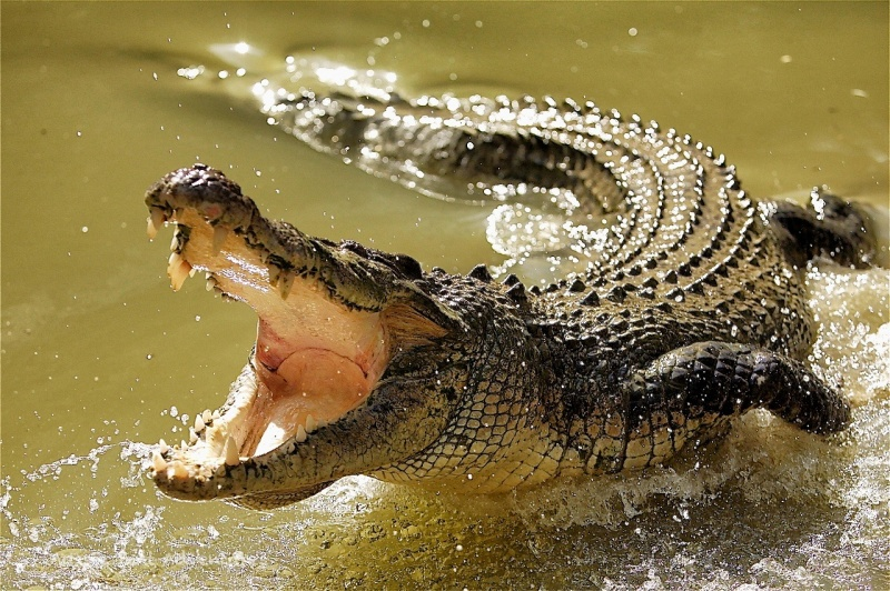 Saltwater Crocodile-15 Super Cool Animals That You May Find Only In Australia