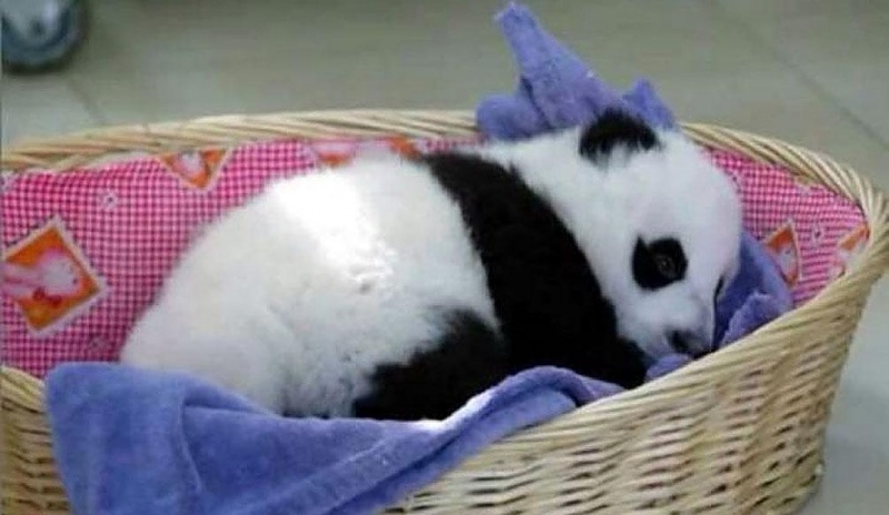They are Treated like Little Angels-15 Images That Show, You Must Visit A Baby Panda Daycare Once