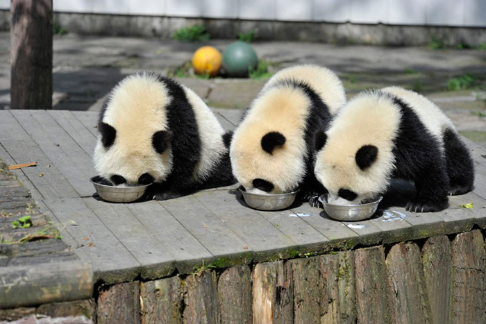 Food, Yay!-15 Images That Show, You Must Visit A Baby Panda Daycare Once