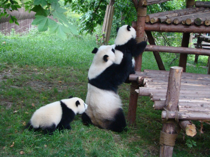 Learning Some Life Skills from Mom-15 Images That Show, You Must Visit A Baby Panda Daycare Once