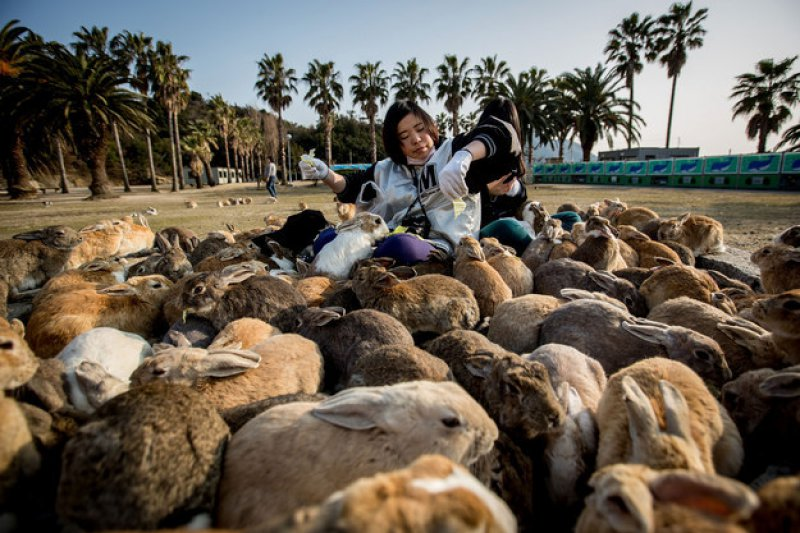 Rabbit Island, Japan-15 Weird Things That Can Happen Only In Japan