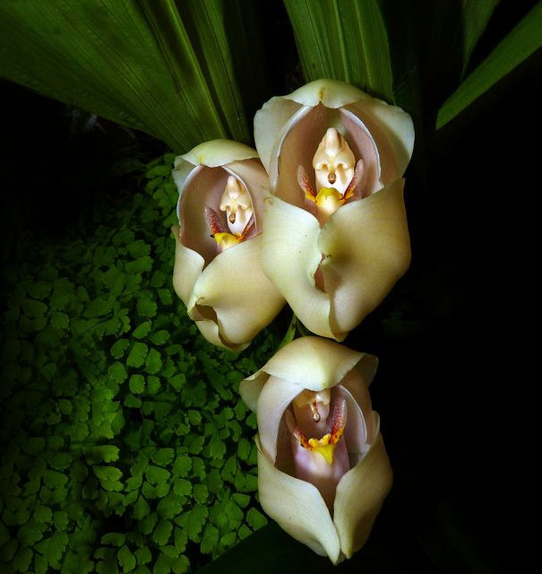 Swaddled Babies Orchid-15 Awesome Flowers That Don't Look Like Flowers At All